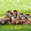 Fluffy goslings enjoying the sunshine - Stock Photo