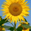 Beautiful large sunflower — Stock Photo