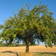 Single apple tree in mid-summer — Stock Photo