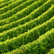 Rows of grapevine — Stock Photo