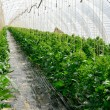 Rows of tomato plants in a greenhouse — Stock Photo #4305457