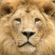 The lion's majestic gaze — Stock Photo
