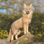 Fox on a rock — Zdjęcie stockowe