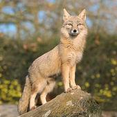 Fox on a rock — Stock Photo
