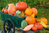 Colorful batch of pumpkins — Stock Photo