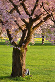 Cherry tree in a park — Stock Photo