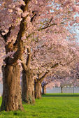 Row of blossoming cherry trees — Stock Photo