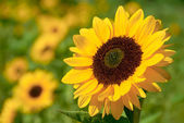 Sunflower in the warm sunlight — Stockfoto