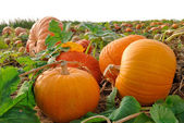 Pumpkins on a field — Stock Photo