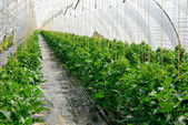 Rows of tomato plants in a greenhouse — Stock Photo