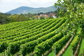 Ripe grapes in a vineyard — Stock Photo