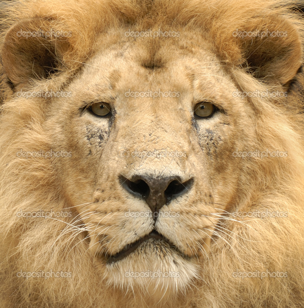 Closeup of a beautiful lion's lofty face looking straight into the camera — Stock Photo #4305463