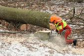 Dřevorubec kácení starých stromů — Stock fotografie