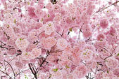 Beautiful cherry blossoms filling the frame — Stock Photo