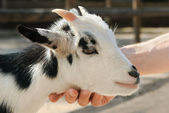 Adorable little goat being petted — Stock Photo