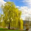 Beautiful weeping willow in a park - Stock Photo