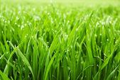 Verse gras met dauw druppels — Stockfoto