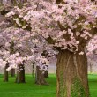 Gorgeous cherry trees blossoming - Stock Photo