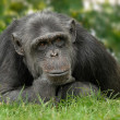 Cute chimp with reflective posture - Stock Photo