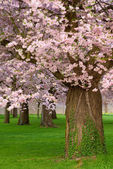 Gorgeous cherry trees blossoming — Stock Photo
