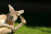 Kangaroo in hilarious posture — Stock Photo