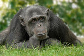 Cute chimp with reflective posture — Stock Photo