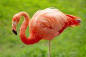 Flamingo over green background — Stock Photo