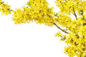 Border of yellow spring blossoms — Stock Photo