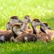 Seven fluffy goslings - Stock Photo