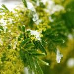 Mimosa — Stock Photo #4224660