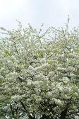 Flowering tree — Stock Photo