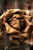 Illustrazione di una rosa — Foto Stock