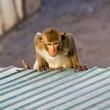 Royalty-Free Stock Photo: Monkey clamber on the roof in Lopbuti Thailand