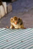 Monkey clamber on the roof in Lopbuti Thailand — Stock Photo