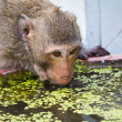Monkey drinking water - Stock Photo