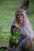 Monkey in Thailand — Stock Photo