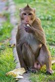 Monkey eating — Стоковое фото