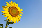 Blooming sunflower in the blue sky background — Stock Photo