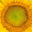 Closeup of Sunflower — Stock Photo