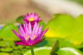 Mooie roze lotus met achtergrond van groene blad — Stockfoto
