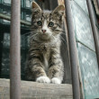 Stock Photo: Gray kitten sits on window