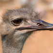 Funny ostrich - extremely sharp and detailed — 图库照片