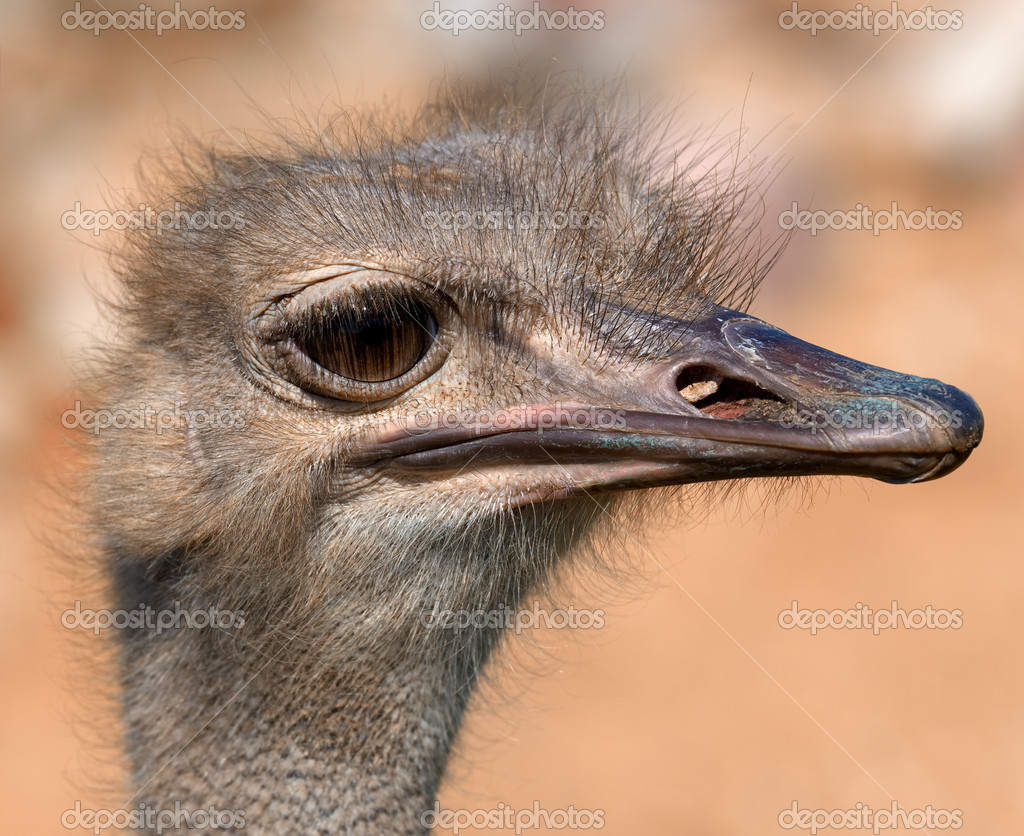 Funny ostrich - extremely sharp and detailed — Stock Photo #4175240