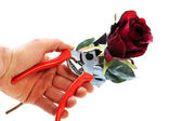 Cutting rose with clipping path — Stock Photo