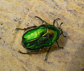 The Flower Chafer — Stock Photo