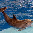Постер, плакат: Atlantic bottlenose dolphin