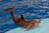 Atlantic bottlenose dolphin — Stock Photo
