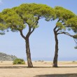 Green Italian pines - Stock Photo