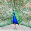 Peacock — Stock Photo #4252064