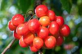 Cerezas dulces — Foto de Stock